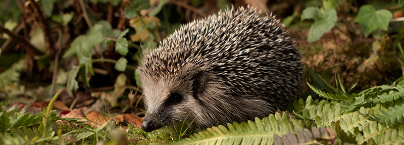 Did you know hedgehogs are nocturnal? This photo was taken at night using clever filters to enhance the lighting conditions. If you ever see a hedgehog out during daylight it could be a sign of distress. Check out our online guides that can help you take the right course of action, if any is required.