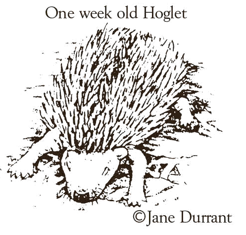 one week old hoglet