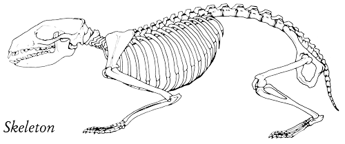 Hedgehog Skeleton